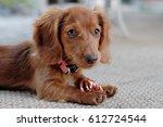 Stock photo dachshund puppy 612724544