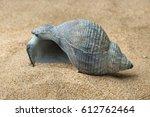 Empty Blue Whelk Sea Shell On...