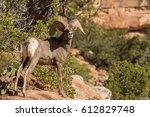 desert bighorn sheep ram | Shutterstock . vector #612829748