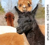 Black And Brown Alpacas  ...