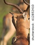 Small photo of Yellow billed Oxpeckers eating parasites on an Impala (Aepyceros melampus).