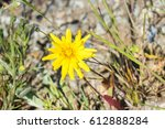 Small photo of Close up of California Dandelion (Agoseris grandiflora) blooming in spring, California