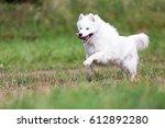 beautiful samoyed dog.   Shutterstock . vector #612892280