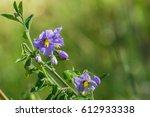 Blue Nightshade  Solanum...