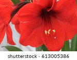 red lion  amaryllis in floral... | Shutterstock . vector #613005386