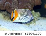Pearlscale Butterflyfish ...