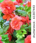 Close Up Of Begonia Flowers