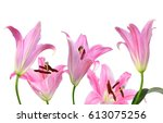 pink lily flowers on a white... | Shutterstock . vector #613075256
