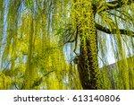 willow tree in spring   Shutterstock . vector #613140806