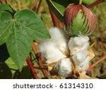 open cotton boll and closed one ... | Shutterstock . vector #61314310