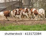 Cows Running Outwards