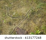 masculine  eggs of gray toad... | Shutterstock . vector #613177268