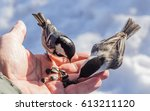 Hand Feeding A Black Capped...