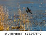 Red Winged Blackbird  Agelaius...