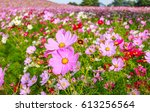 Cosmos Flowers Field At Hitach...