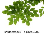 tree branch isolated   Shutterstock . vector #613263683