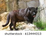 Walking Panther In Zoo