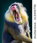 Small photo of Screaming Mandrill - male monkey open mouth intimidating teeth roar