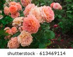 Stock photo blooming in the garden rose belvedere 613469114