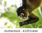 A Spider Monkey Climbs High...