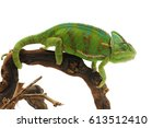 Veiled Chameleon Isolated On...