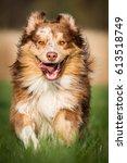 australian shepherd running   Shutterstock . vector #613518749
