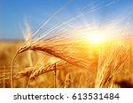 golden wheat close up on sun.... | Shutterstock . vector #613531484