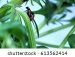 Ladybugs Also Called Lady...