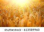 wheat field. ears of golden... | Shutterstock . vector #613589960
