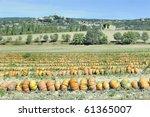 Rows Of Pumpkins In A Field...