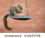 Eastern Fox Squirrel  Sciurus...