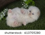 Stock photo little scottish kittens playing on the grass 613705280