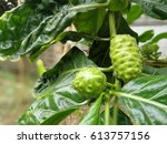 Noni Fruits With Green Leaves...