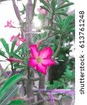 Small photo of Beautiful Pink Adenium obesum