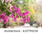 Bougainville Flowers Lilac And...