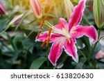 pink lily flower with shallow... | Shutterstock . vector #613820630