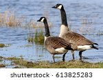 Pair Of Canadian Geese  Branta...