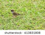 passeridae on grass. | Shutterstock . vector #613831808