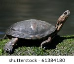 Small photo of Western Pond Turtle, or Pacific Pond Turtle, (Actinemys marmorata)