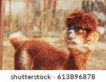 brown alpaca llama close up... | Shutterstock . vector #613896878