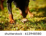 A Small Domestic Dog Plays ...