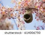 Baya Weaver Nesting In Cassia...