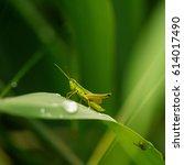 Grasshopper In Grass On Meadow...