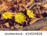 Small photo of The first spring flowers. Adonis flowers