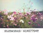 Purple  Pink  Cosmos Flowers In ...