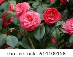 pink roses in a bush.
