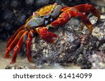 Red Cliff Crab  Galapagos