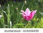 One Pink Tulip  Fully Opened I...