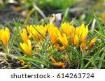 yellow crocuses growing on the... | Shutterstock . vector #614263724