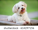 Smiling Cute White Dog Sit On...